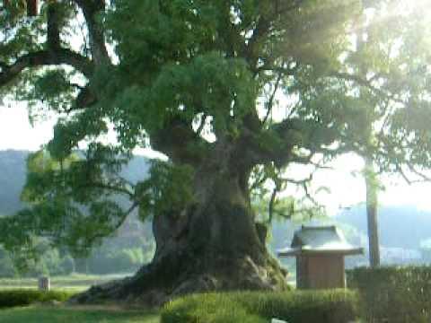 DSCN8488 佐賀県武雄市の巨樹  川古の大楠