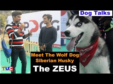 Meet The Siberian Husky : The ZEUS : Dog Talks : TUC