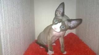Девон рекс котята с голубыми глазами