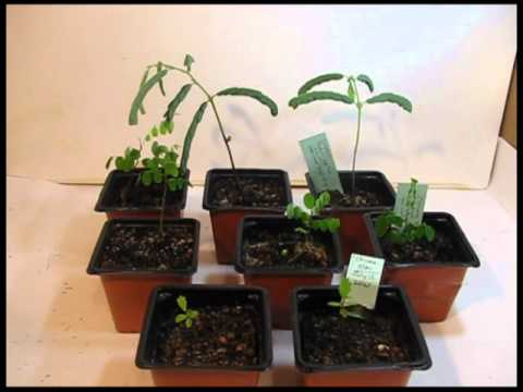 Grow Bonsai From Seed Two Months Later Youtube