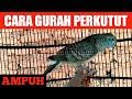 Cara Gurah Perkutut Yang Aman Manjur Sangat Ampuh  Tidak Membahayakan Burung Perkutut  Mp3 - Mp4 Download