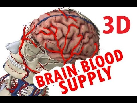 Brain Blood Supply - Cerebral Circulation - Circle Of Willis