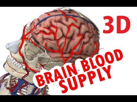 Brain Blood Supply - Cerebral Circulation - Circle Of Willis - YouTube