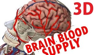 Brain Blood Supply - Cerebral Circulation - Circle Of Willis
