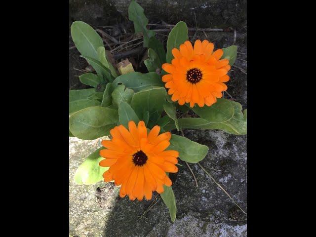 Maximising plants Part 2 with the  Quarantine Gardener