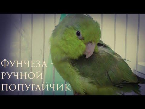 Воробьиный попугай. Фунчеза - мой новый попугайчик. forpus coelestis.