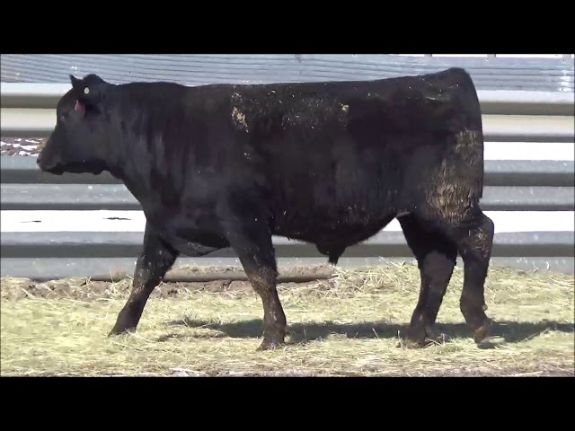 Connealy Angus Lot 338