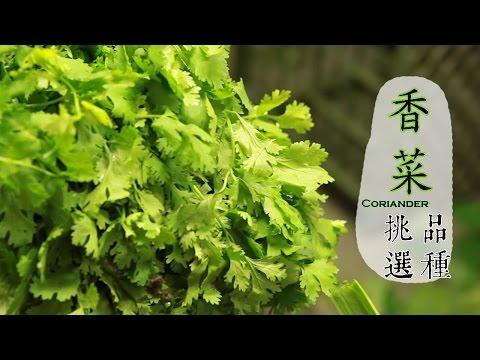 【冬】香菜如何挑選才好吃