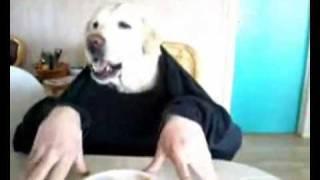 Labrador che mangia con le mani Incredibile
