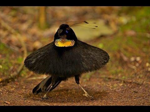 Burung Surga Papua (Bird Of Paradise)
