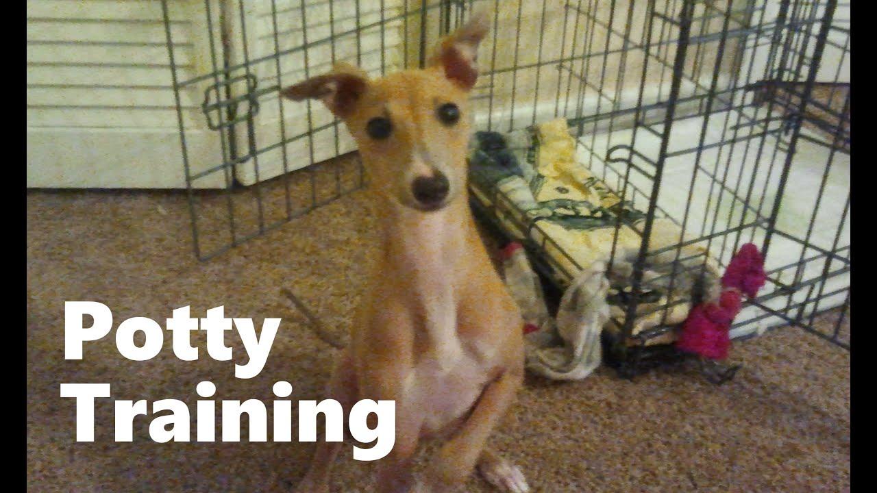 how to potty train an italian greyhound puppy - house training