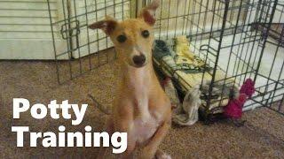 How To Potty Train An Italian Greyhound Puppy - House Training Italian Greyhound Puppies