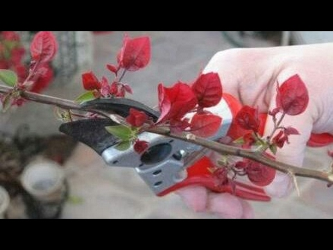 how to grow bougainvillea from cuttings youtube