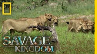 A Pride Divided   Savage Kingdom