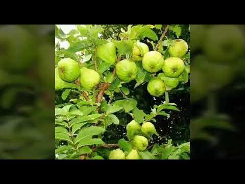 Taiwan guava plants suplayer SRNERSERY 9652466444