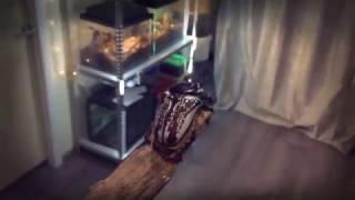 видео Жуки-голиафы