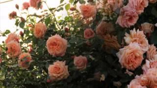Мои розы 2012