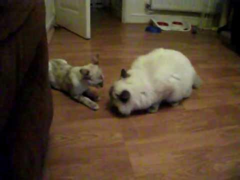 Bengal Versus Ragdoll cat - fight!