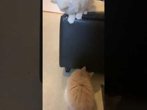 Ragdoll vs Norwegian forest cat