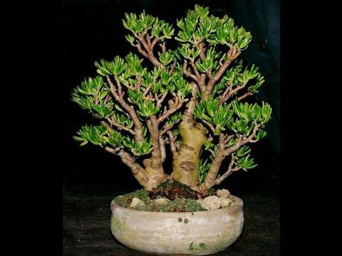 Jade Plant variegated