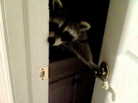 Snickers The Raccoon Opens Door Youtube