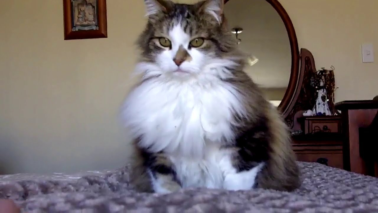 A DAY WITH KITTY THE FLUFFIEST CAT ON YOUTUBE YouTube - 25 of the fluffiest cats ever