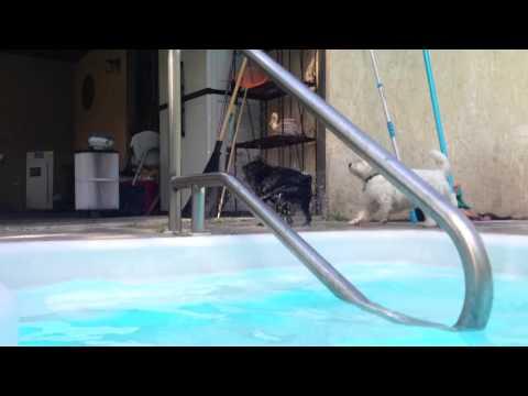 Schipperke Swimming