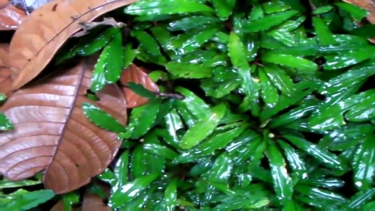Ekosistem bucephalandra di alam liar - YouTube