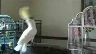 一隻鸚鵡聽見Michael Jackson的歌跳起舞來 thumbnail