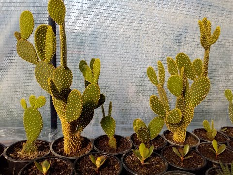 How to grow cactus opuntia microdasys