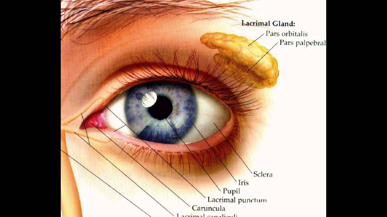 Human Eyeball Diagram