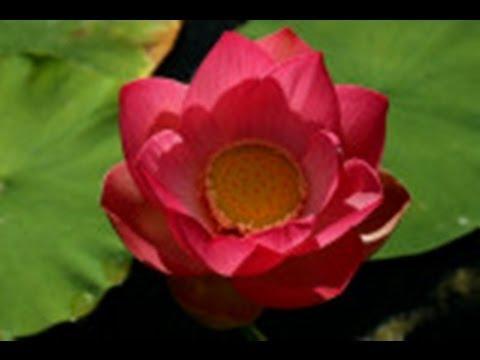 Lotus Meditation  ॐ मणि पद्मे हुम्  Om Mani Padme Hum