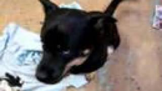 Jj - Husky/rottweiler Mix