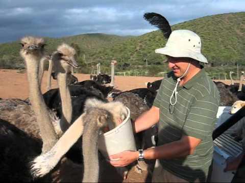 Straussenfarm  - Oudtshoorn -Südafrika