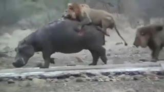 二頭のライオンに体を食いちぎられるカバ 【関連動画】 【閲覧注意】美...