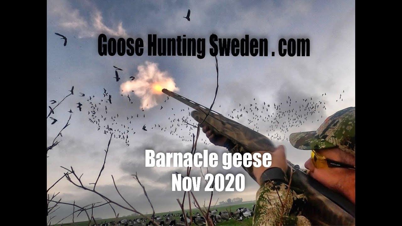 Hunting Barnacle Geese GHS nov 2020