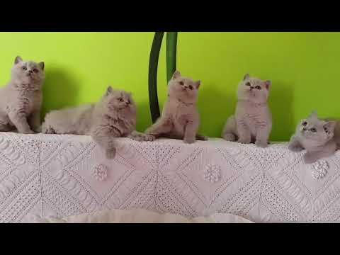 """Lilac kittens . Cattery  """"Kingdom of British cats """"."""