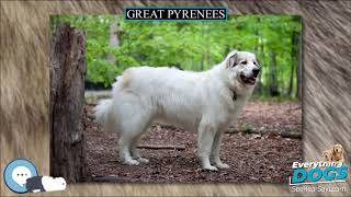 Great Pyrenees  Everything Dog Breeds