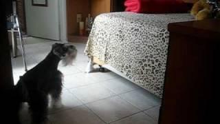 Schnauzer Barking At Stuffed Bear