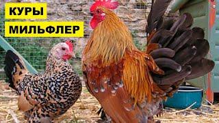 Разведение кур породы Мильфлер как бизнес идея   Птицеводство   Куры Мильфлер