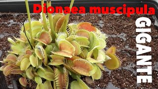 Carniplant-Plantas carnívoras-Siembra de Dionaea muscipula + Dionaea gigante
