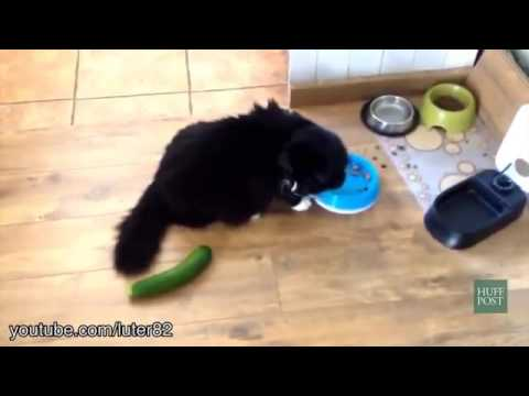 cucumber pranks of cat... Lol