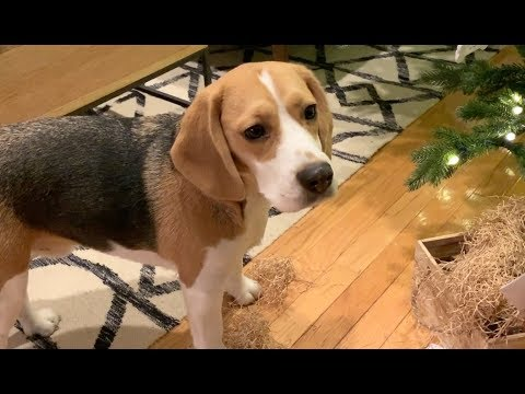 Cute beagle can't wait to open Christmas presents