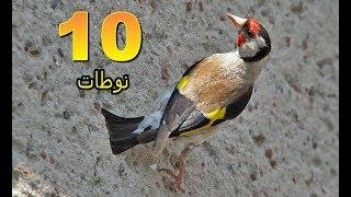 عشرة نوطات من تغريد طائر الحسون
