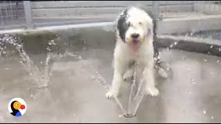 Sheepdog Puppy Plays in Sprinkler for the First Time | The Dodo LIVE*