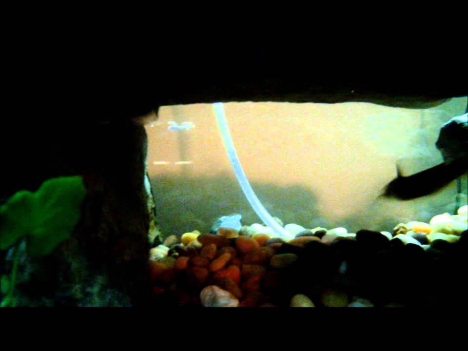 Catfish and bluegill in my fish tank swimming around youtube for Bluegill fish tank