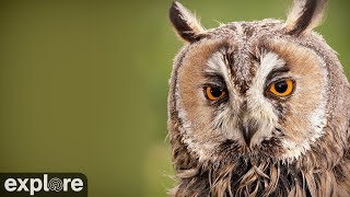 Long-Eared Owl powered by EXPLORE.org thumbnail