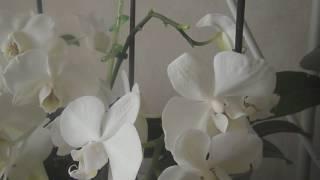 Как получить детку орхидеи(фаленопсис)(Видео снято по настоятельным рекомендациям зрителей .Кратко рассказ о 3 способах получения детки на орхиде..., 2017-03-06T17:43:59.000Z)
