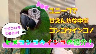 【えとぴりかOSAKA】超甘えん坊!コンゴウインコの紹介!【ヒメコンゴウインコ・Chestnut-fronted Macaw】