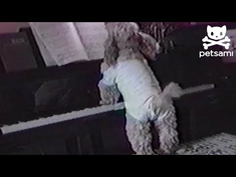 Dog sings and plays the piano while owner is at work